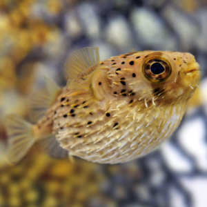 Puffers exotic sea life for Puffer fish price