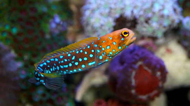 Image result for blue spot jawfish