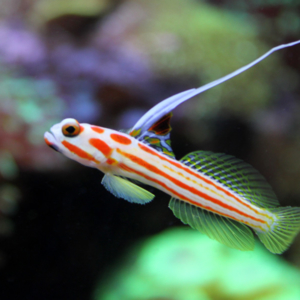 Goby