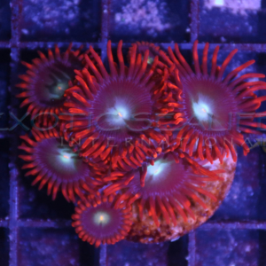 Coral Frag Packs